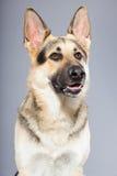 Beautiful german shepherd dog isolated Stock Photography