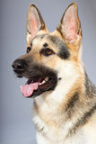 Beautiful german shepherd dog isolated Stock Photos