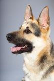 Beautiful german shepherd dog isolated Stock Photo
