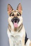 Beautiful german shepherd dog isolated Stock Image