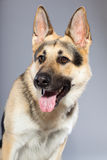 Beautiful german shepherd dog isolated Stock Photography