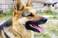 Beautiful German shepherd dog lying on green grass Stock Photography