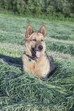 Beautiful German shepherd female laying in the freshly cut hay Stock Photo