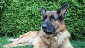Beautiful German Shepherd Garden Security. German Shepherd Dog Odin taking care of our garden Stock Photo