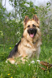 Beautiful German shepherd in the green Stock Photo