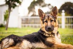 Beautiful German shepherd portrait. Royalty Free Stock Image