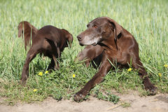 Beautiful German Shorthaired Pointer with puppies Royalty Free Stock Photo