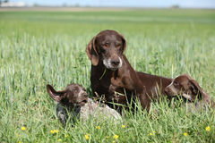 Beautiful German Shorthaired Pointer with puppies Royalty Free Stock Photography