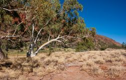 Beautiful gum tree at Glen Helen Gorge stock images