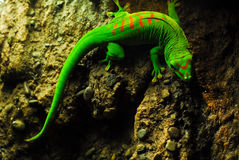 Beautiful Giant Day Gecko Stock Image