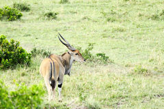 Beautiful Giant Eland antelope in the grassland Royalty Free Stock Photo
