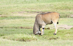 A beautiful Giant Eland antelope hitting the mud mound Stock Images