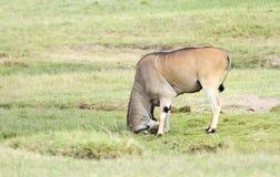A beautiful Giant Eland antelope hitting the mud mound. The Giant Eland antelope is largest entelope in the world Stock Images