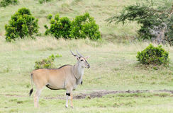 A Beautiful Giant Eland antelope. The Giant Eland antelope is largest entelope in the world Royalty Free Stock Images