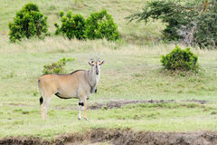 A Beautiful Giant Eland antelope in Savanna grassland. The Giant Eland antelope is largest entelope in the world Stock Image