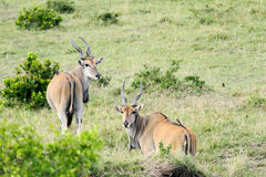 Beautiful Giant Eland antelopes Royalty Free Stock Image
