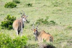 Beautiful Giant Eland antelopes. The Giant Eland antelope is largest entelope in the world Royalty Free Stock Image