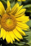 Giant Golden Sunflower Blossoms. Beautiful giant golden yellow sunflowers, and annual flower grown for the seeds royalty free stock photo