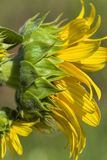 Giant Golden Sunflower Blossoms. Beautiful giant golden yellow sunflowers, and annual flower grown for the seeds royalty free stock images
