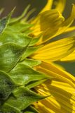 Giant Golden Sunflower Blossoms. Beautiful giant golden yellow sunflowers, and annual flower grown for the seeds royalty free stock photos