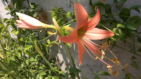 May Flower. Beautiful and giant May flower blooms in the hot summer in the month of May Royalty Free Stock Photo