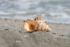 A beautiful giant sea shell stock images