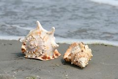 Beautiful giant sea shells stock photography