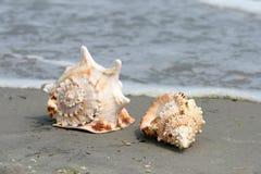 Beautiful giant sea shells Stock Photography