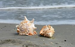 Beautiful giant sea shells stock photo