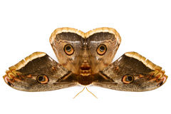 The beautiful giant silk moth butterfly Royalty Free Stock Images