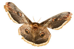 Beautiful giant silk moth butterfly Stock Photo