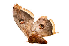 Beautiful giant silk moth butterfly Royalty Free Stock Photos