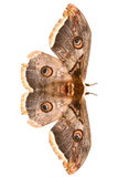 Beautiful giant silk moth butterfly Stock Photography
