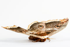 Beautiful giant silk moth butterfly Royalty Free Stock Image