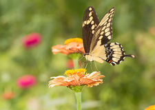 Beautiful Giant Swallowtail butterfly in garden Royalty Free Stock Photo