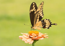 Beautiful Giant Swallowtail butterfly on a pale orange Zinnia Stock Photography