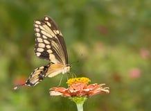 Beautiful Giant Swallowtail butterfly on a Zinnia flower Stock Photos