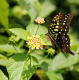 Beautiful giant swallowtail or lime swallowtail butterfly Royalty Free Stock Images