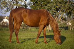 Beautiful gidran breed mare grazing in summer pasture Stock Image