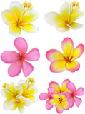 Beautiful gift card with yellow and pink plumerias Royalty Free Stock Photos