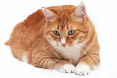 Beautiful ginger cat. Close up lying down and watching something Royalty Free Stock Image