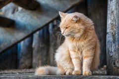 Free Beautiful Ginger Cat Looking To The Side Stock Photo - 152660030