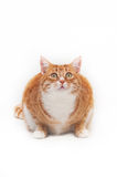 Beautiful ginger cat Royalty Free Stock Photography