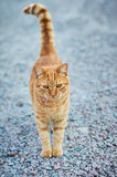Beautiful ginger cat outdoors. Thoughtful cat standing on the pavement Stock Image