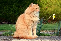 Beautiful ginger cat relaxes Royalty Free Stock Photo
