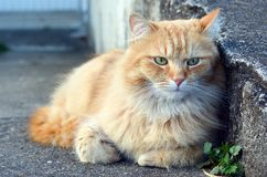 Beautiful ginger cat relaxes Royalty Free Stock Image