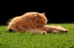 Beautiful ginger cat relaxes at sunset Stock Photos