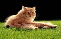 Beautiful ginger cat relaxes at sunset. Beautiful ginger cat relaxes in the garden at sunset Royalty Free Stock Photo