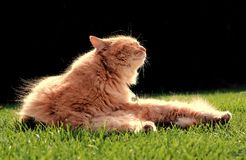 Beautiful ginger cat relaxes at sunset. Beautiful ginger cat relaxes in the garden at sunset Royalty Free Stock Image
