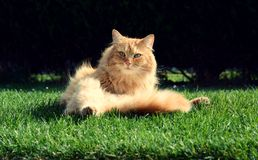 Beautiful ginger cat relaxes at sunset. Beautiful ginger cat relaxes in the garden at sunset Royalty Free Stock Images